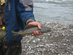 Our staple, Arctic grayling.
